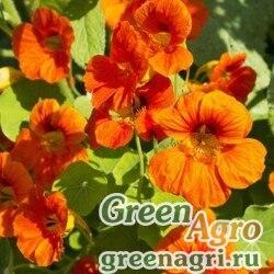 Настурция большая Оранжевый блик  (упак-50 гр.)