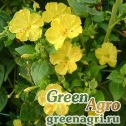 Мирабилис Желтый леденец  (упак-50 гр.)