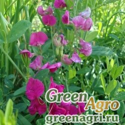 Горох Посевной семена 0,5 кг Зеленый уголок (20шт)