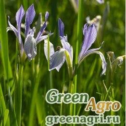 Ирис молочно-белый (Iris lactea) 30 гр.