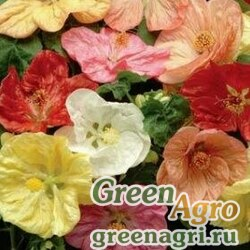 "Абутилон гибридный (Abutilon hybridum) ""Bella"" (mix select) raw 100 шт."