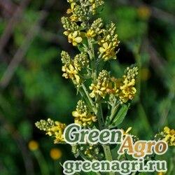 Коровяк метельчатый (Verbascum lychnitis) 10 гр.
