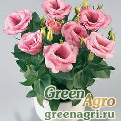 "Лизиантус (Эустома) крупноцветковый (Lisianthus grandiflorum) ""Rosie F1"" (pink) pelleted 1000 шт."