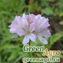 Армерия килеватая (Armeria cariensis) 4 гр.