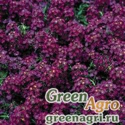 "Алиссум морской компактный (Lobularia maritima) ""Wonderland"" (deep purple) raw 1000 шт."