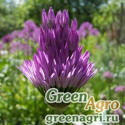Лук чашеносный (Allium cupuliferum) 4 гр.
