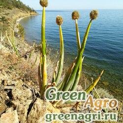 Лук алтайский (Allium altaicum) 4 гр.