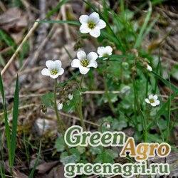 Камнеломка мягкая (Saxifraga mollis) 0,3 гр.