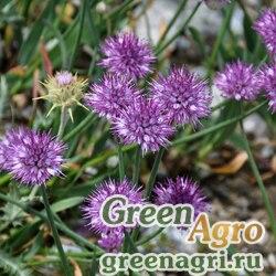 Лук каролинский (Allium carolinianum) 4 гр.