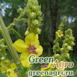 Коровяк Маршалла (Verbascum marchalianum) 10 гр.