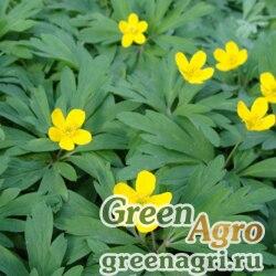 Анемона лютичная (Anemone ranunculoides) 5 гр.