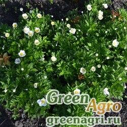 Анемона лесная (Anemone sylvestris) 5 г