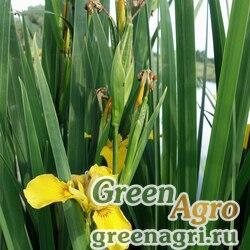 Ирис болотный белоцветковый (Iris pseudocorus f. albiflorus) 5 гр.