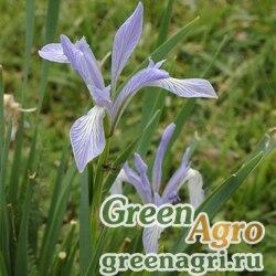 Ирис Палласа (Iris pallasii) 5 гр.