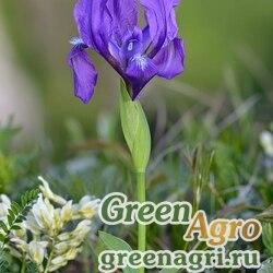 Ирис безлистный (Iris aphylla) 8 гр.