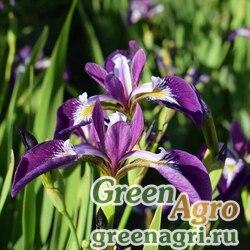 Ирис горный (Iris montana) 2 гр.