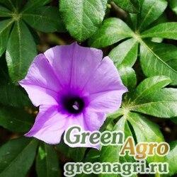 Ипомея каирская (Ipomoea carica) 1 гр.