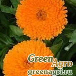 "Календула лекарственная (Calendula officinalis) ""Candyman"" (orange) 40 гр."