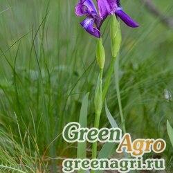 Ирис вильчатый (Iris furcata) 6 гр.