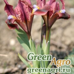 Ирис крымский (Iris taurica) 6.5 гр.