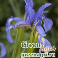 Ирис ненастоящий (Iris notha) 7 гр.