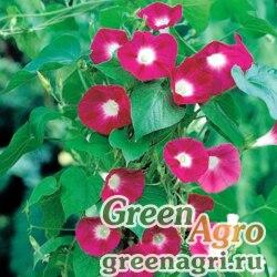 "Ипомея пурпурная (Ipomoea purpurea) ""Scarlet O'Hara"" 100 гр."