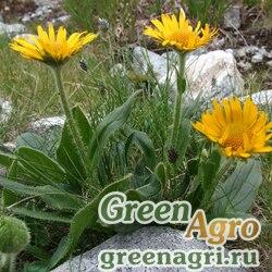 Дороникум Деклюза (Doronicum clusii) 1 гр.