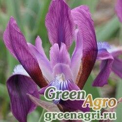 Ирис кожистый (Iris scariosa) 6.5 гр.