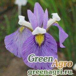 Ирис биверсата (Iris x biversata) 6 гр.