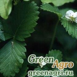 Земляника восточная (Fragaria orientalis) 10 гр.