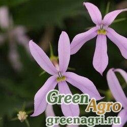 "Изотома гибридная (Isotoma hybrida) ""GEMINI"" (PINK) pelleted 500 шт."