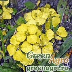 Желтушник неиссякаемый (Erysimum jugicola) 2 гр.