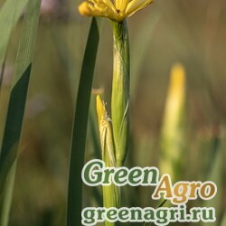 Ирис солелюбивый (Iris halophila) (mix) 25 гр.