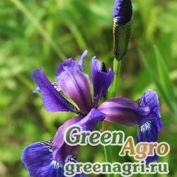 Ирис кроваво-красный (Iris sanguinеa) 10 гр.