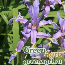 Ирис Клатта (Iris klattii) 30 гр.