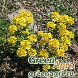 Желтушник красивый (Erysimum pulchellum) 1 гр.