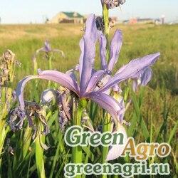 Ирис ложноненастоящий (Iris pseudonotha) 6.5 гр.