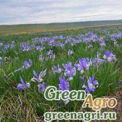 Ирис двучешуйчатый (Iris biglumis) 80 гр.