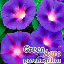 Ипомея ночная (Ipomoea noctiflora) 100 гр.