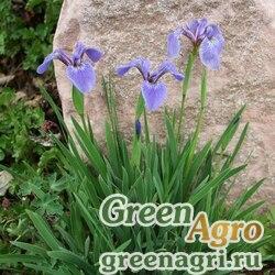 Ирис Гукера (Iris hookerii) 2 гр.