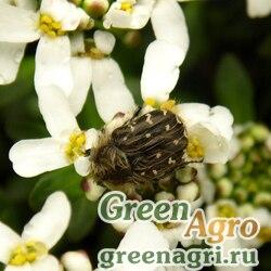 Иберис вечнозеленый (Iberis sempervirens) 10 гр.