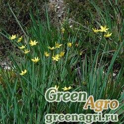 Желтушник ястребинколистный горный (Erysimum hieracifolium ssp.monticola) 2 гр.