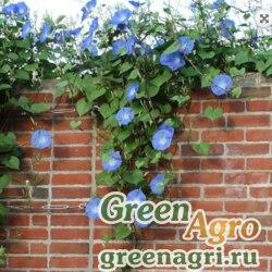 "Ипомея пурпурная (Ipomoea purpurea) ""Heavenly Blue"" 100 гр."