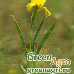 Ирис боровой (Iris pineticola) 3.6 гр.