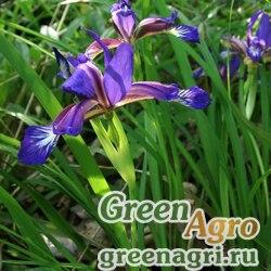 Ирис колхидский (Iris colchica) 8 гр.