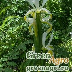 Ирис восточный (Iris orientalis) 10 гр.
