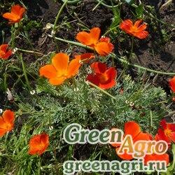 Эшшольция Аленький цветочек  (упак-50 гр.)