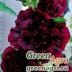 Шток-роза Темно-бордовая  (упак-50 гр.)