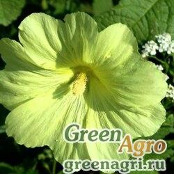 Шток-роза Желтая  (упак-50 гр.)