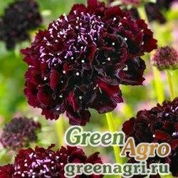 Скабиоза темно-пурпурная Бородовая  (упак-50 гр.)